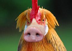 Огненный петух в туризме обернулся свиньей
