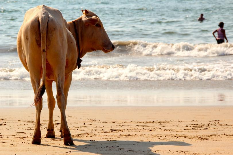 cow-1028432_1920.jpg
